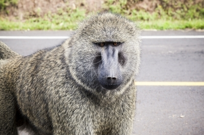 A baboon in the road