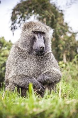 A Baboon squating by the roadside in Echuya Forest in Uganda
