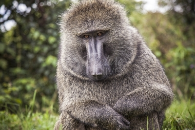 A Baboon standing by the roadside in Echuya Forest in Uganda