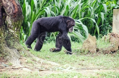 A chimpanzee walking