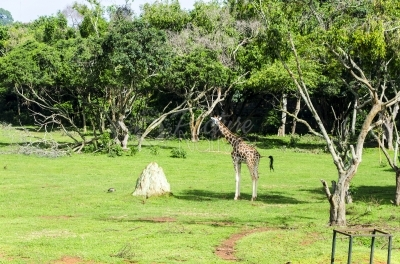 A giraffe walking in a vast park