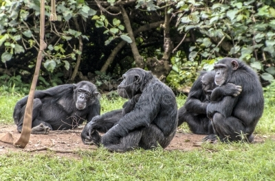 A Group of 4 Chimpanzees
