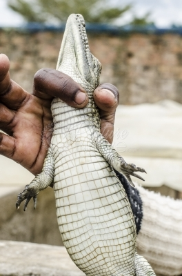 A hand holding a young Crocodile