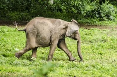 A young elephant running in the zoo