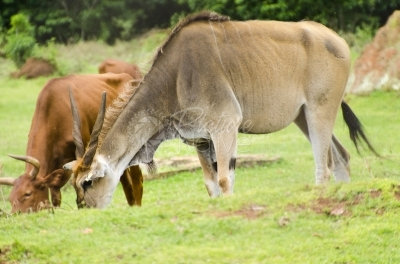 An antelope grazing with a cow