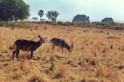 Antelopes in a national park