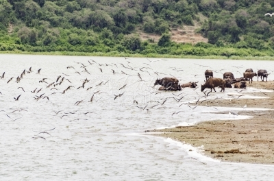 Buffalo and birds in a river