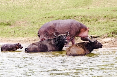 Buffalo and hippo in water