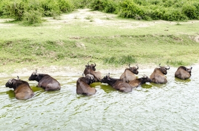 Buffalos in a river