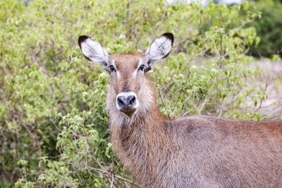 Bush Buck Queen Elizabeth National Park Uganda