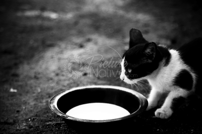 Cat drinking milk