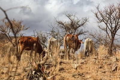 Cattle grazing in a drought stricken area