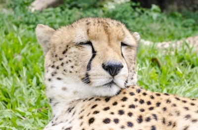 Cheetah in a zoo
