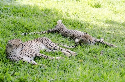 Cheetahs in a zoo