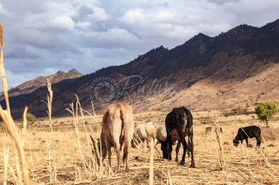 Cows graze in a drought hit area