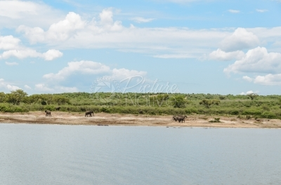 Elephants walking besides a river