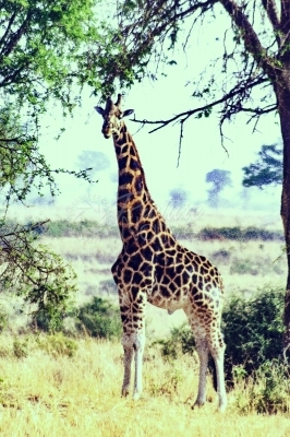 Giraffe walking in the wild