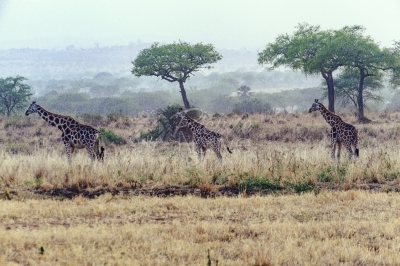 Giraffes walking in a park