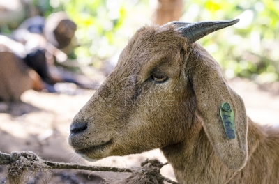 Goat with a tag on the ear