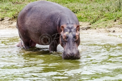 Hippo drinking water