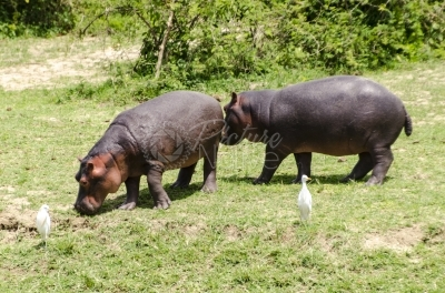 Hippos in a national park
