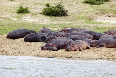 Hippos lie by the river bank
