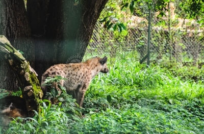 Hyena in zoo, gazing at lions
