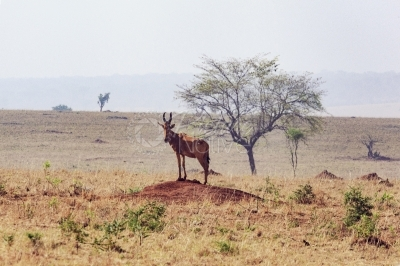 Jacksons hartebeest in a national park