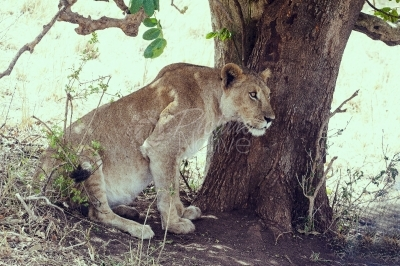 Lioness in a tree shade