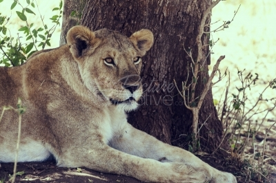 Lioness resting in a national park