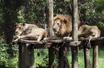 Lions in the zoo