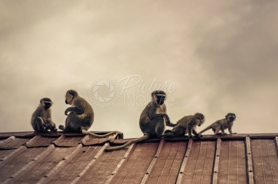 Monkeys atop a building