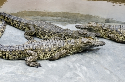 Nile crocodiles in a pond