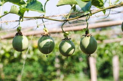 Passion fruit plants