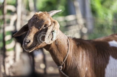 Tagged goat
