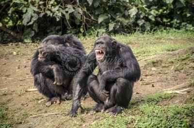 Two chimpanzees in the zoo