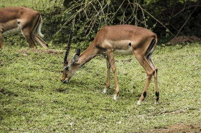 Uganda Kob feeding on grass
