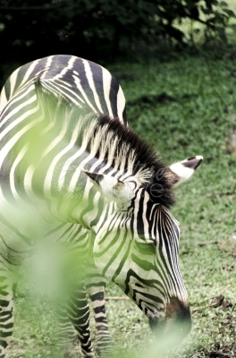 Zebra in the park